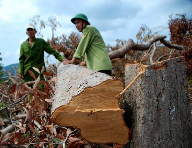 Kiểm tra việc phá rừng phòng hộ tại Phú Yên (theo Báo Tuổi trẻ thủ đô)
