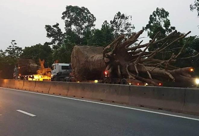 Bắt giữ đoàn xe chở cây cổ thụ khổng lồ - ảnh 1
