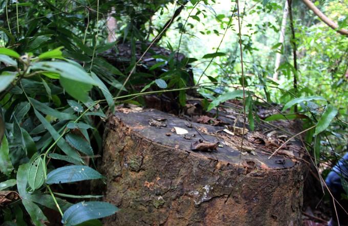 Quảng Nam truy tìm kẻ phá rừng gỗ lim xanh hàng trăm năm tuổi - ảnh 9