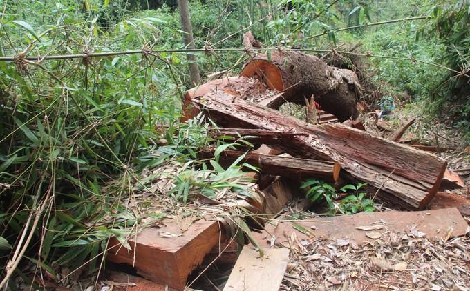 Vụ án lâm tặc chặt phá rừng cây gỗ lim xanh thuộc tiểu khu 335, rừng phòng hộ Nam Sông Bung (xã Chà Val, huyện Nam Giang) đã được khởi tố ngày 28/3.