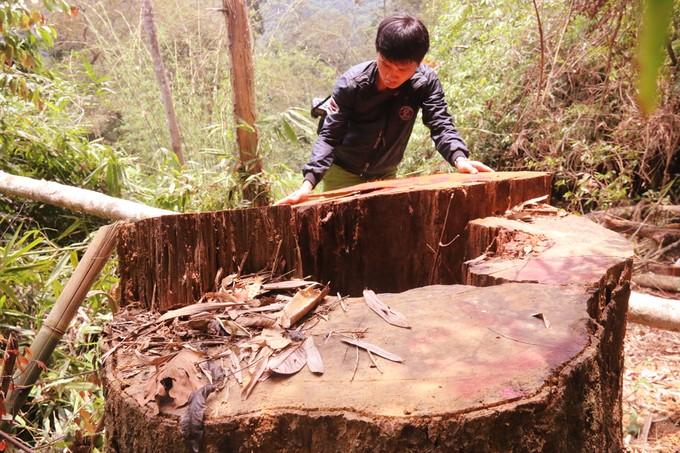 Quảng Nam truy tìm kẻ phá rừng gỗ lim xanh hàng trăm năm tuổi - ảnh 2