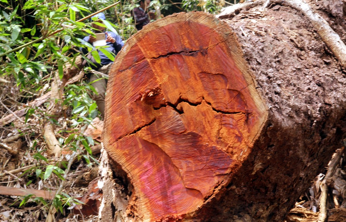 Quảng Nam truy tìm kẻ phá rừng gỗ lim xanh hàng trăm năm tuổi - ảnh 3