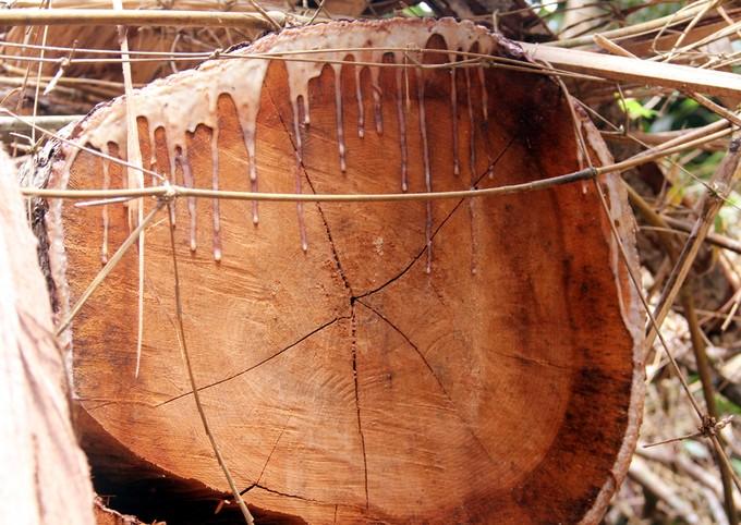 Quảng Nam truy tìm kẻ phá rừng gỗ lim xanh hàng trăm năm tuổi - ảnh 4