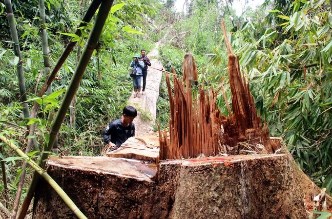Quảng Nam truy tìm kẻ phá rừng gỗ lim xanh hàng trăm năm tuổi - ảnh 5