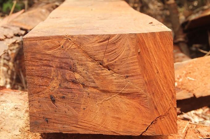 Quảng Nam truy tìm kẻ phá rừng gỗ lim xanh hàng trăm năm tuổi - ảnh 7