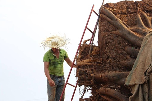Một cây đa sộp đã được cắt tỉa bộ rễ.