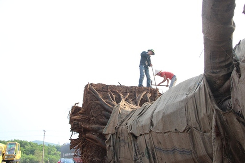 Kiểm lâm Huế phạt 750.000 đồng với chủ cây 'quá khổ, quá tải' - ảnh 1