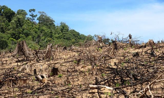 Bình Định: Hoãn xử vụ phá rừng đặc biệt nghiêm trọng - ảnh 1