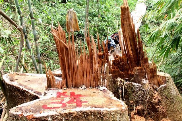 Hiện trường vụ phá rừng lim xanh cổ thụ (xã Chà Vàl, huyện Nam Giang)