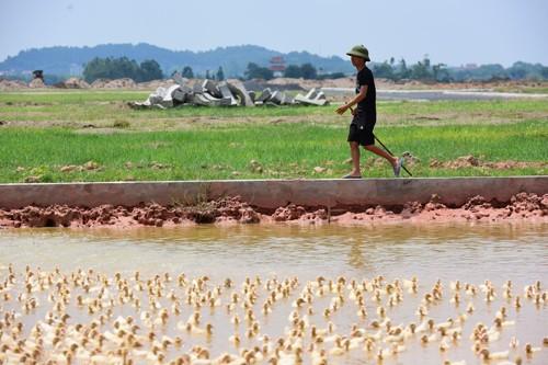 Người dân chăn vịt tại một dự án chậm triển khai ở huyện Mê Linh.