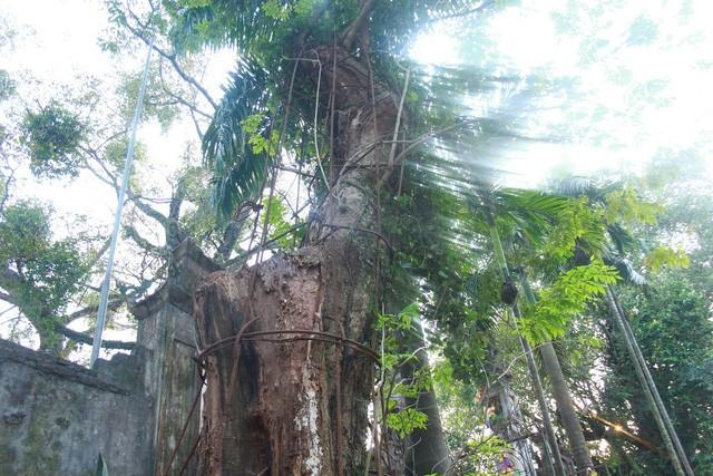 Cây sưa đỏ 130 năm tuổi có đường kính khoảng 1m, cao khoảng 4m