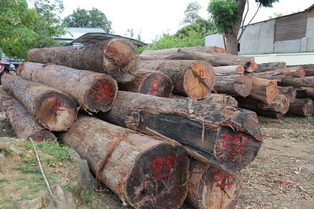 """Đắk Nông: Vụ trùm gỗ lậu Phượng """"râu"""": Khởi tố một giám đốc bỏ trốn - ảnh 2"""