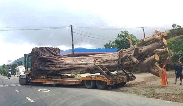 """Thêm 1 xe chở cây """"quái thú"""" bị bắt khi đi qua Huế, trước đó xe đã vượt chốt nhiều trạm CSGT các tỉnh thành từ Đắk Lắk về Huế"""