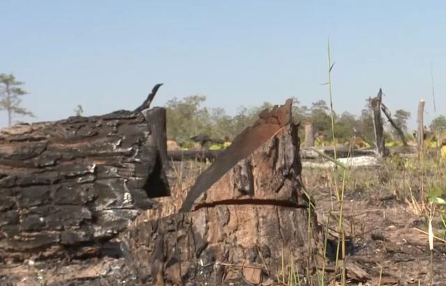 Gia Lai: Phá rừng hơn 7ha làm nương rẫy, một đối tượng bị bắt giữ - ảnh 1