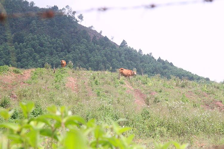 Công nhân đề xuất 'bán chuối trừ lương' ở dự án nuôi bò Bình Hà - ảnh 2