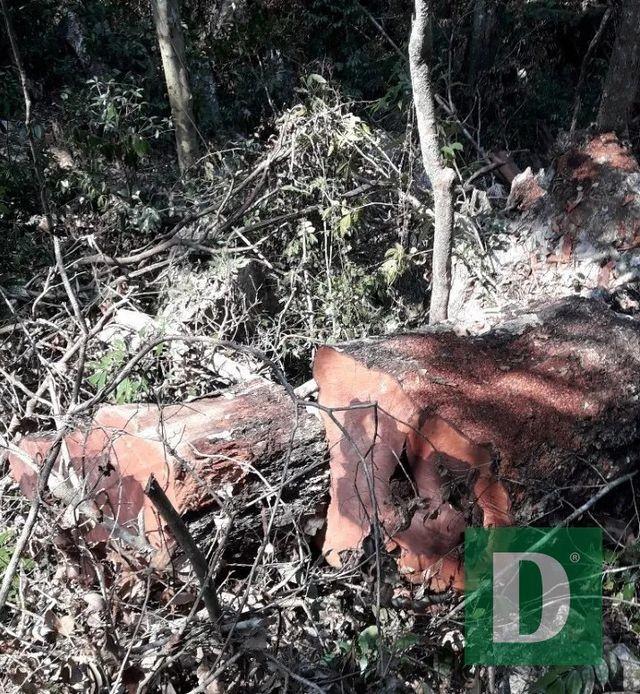 Quảng Bình: Khởi tố vụ phá rừng gỗ quý tại VQG Phong Nha – Kẻ Bàng - ảnh 1
