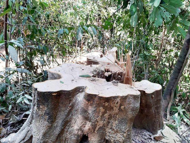 Khu vực rừng phòng hộ Sông Tranh bị tàn phá