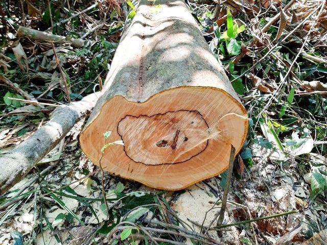 Quảng Nam: Khởi tố vụ phá rừng phòng hộ để… làm đũa - ảnh 1