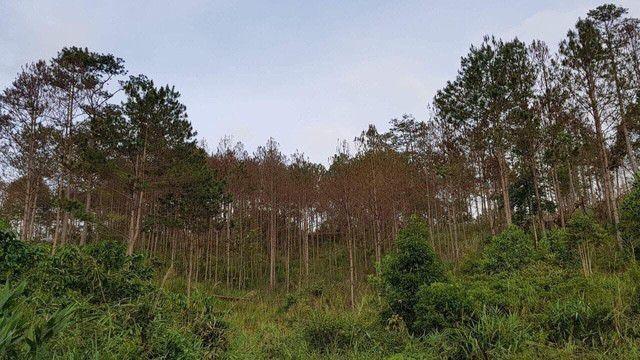 Một cánh rừng thông bị đầu độc