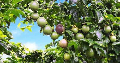 Mảng cây ăn trái đem về doanh thu hơn 5 tỷ đồng mỗi ngày cho Hoàng Anh Gia Lai trong quý III/2017.