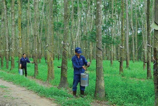 Cao Su Đà Nẵng (DRC) đặt mục tiêu lãi 29,5 tỷ đồng trong quý I/2019