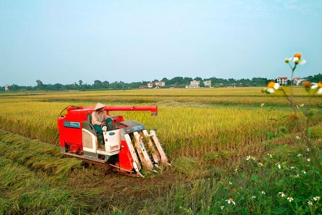 Nhiều doanh nghiệp ngành hàng lúa gạo chưa có đủ điều kiện về vốn để đầu tư ứng trước cho nông dân. Ảnh: Tiên Giang