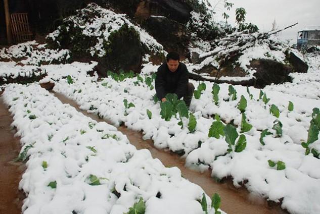 Mưa tuyết trên diện rộng những ngày qua gây nhiều thiệt hại nặng về cây trồng, vật nuôi. Ảnh: Nhã Chi st