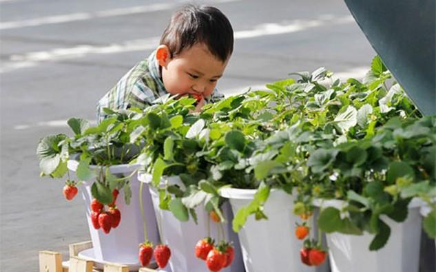 Một cậu bé hái dâu tây tươi ăn ở Bắc Kinh. Với 1,4 tỷ miệng ăn, Trung Quốc cần tăng mạnh năng suất nông nghiệp vốn bị kìm hãm bởi chất đất xấu, nguồn nước ô nhiễm, và tình trạng lạm dụng phân bón hóa học và thuốc trừ sâu - Ảnh: Bloomberg/Getty.