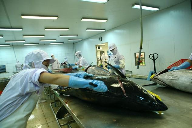 Giá vận chuyển cá ngừ sang Nhật có chi phí khá cao. Ảnh: Tất Tiên