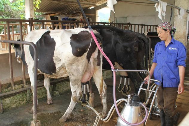 Công ty CP Giống bò sữa Mộc Châu mang lại nguồn thu chính của Vilico. Ảnh: Tiên Giang