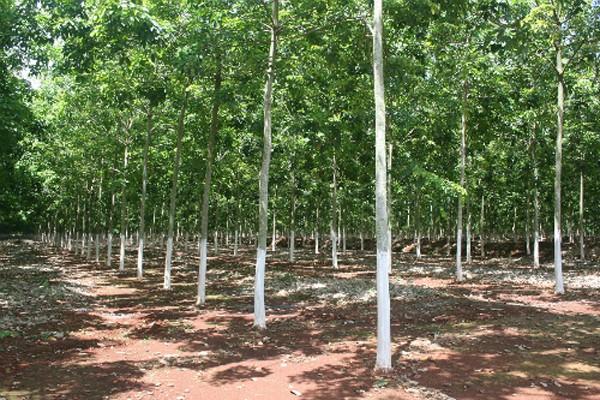 Dự án không triển khai từ 2010 được người dân tiến hành trồng cao su. Ảnh: Văn Trăm