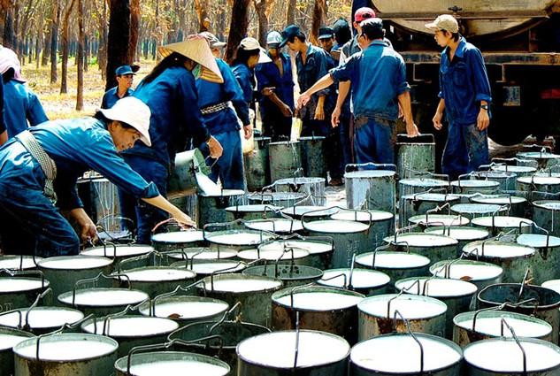 Giá cao su thấp ảnh hưởng mạnh đến kết quả kinh doanh của Tập đoàn Công nghiệp Cao su Việt Nam. Ảnh: Ngọc Anh