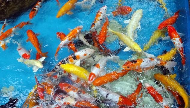 Gói thầu Toàn bộ khối lượng xây dựng và thiết bị công trình Trung tâm cá Koi Nhật Bản – Bình Định sử dụng nguồn vốn ngân sách địa phương. Ảnh: Huyền Trang