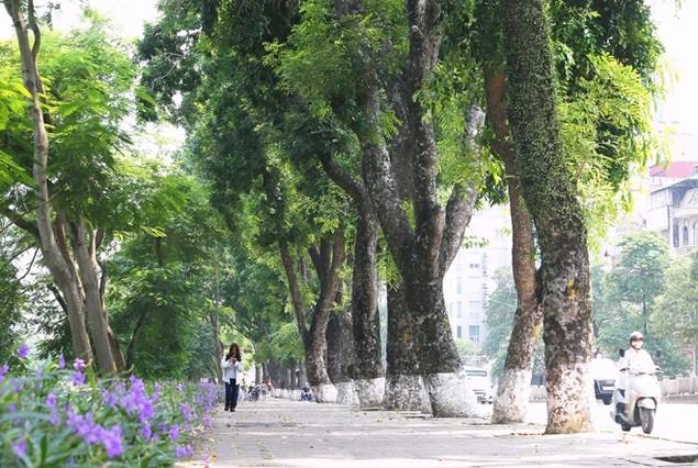 Hà Nội 'chia tay' hàng cây xanh bên hồ Thủ Lệ - ảnh 2