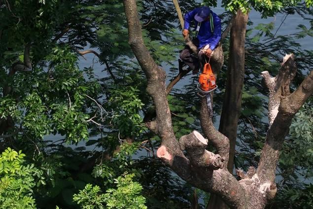 Hà Nội 'chia tay' hàng cây xanh bên hồ Thủ Lệ - ảnh 8